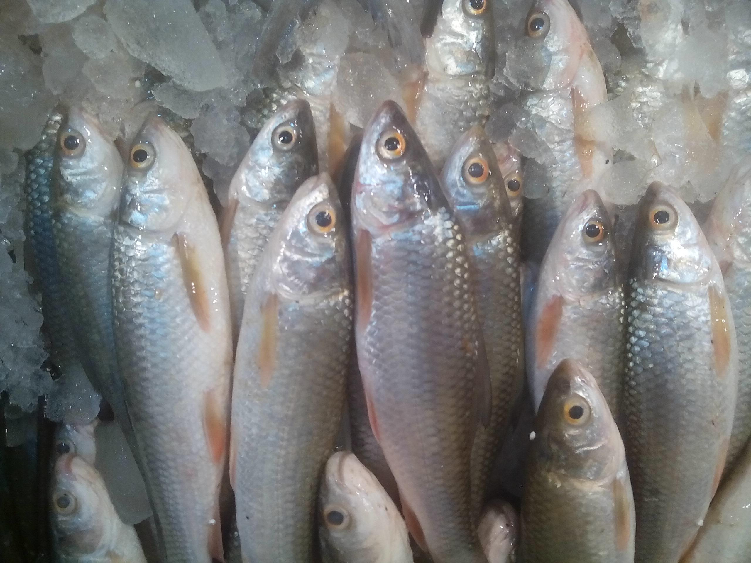 Fishappy | River Fish